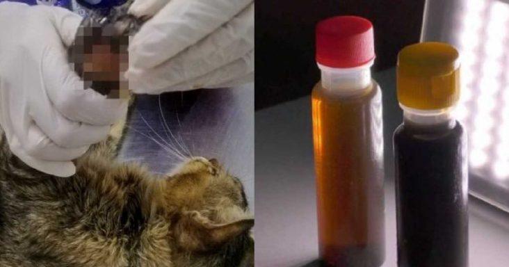 ubat gamat di kucing