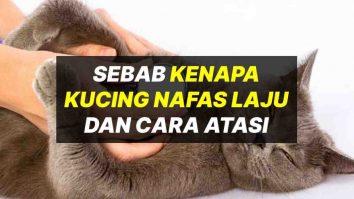 kenapa kucing bernafas laju